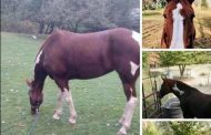 Sad News About Foxy the Lost Horse